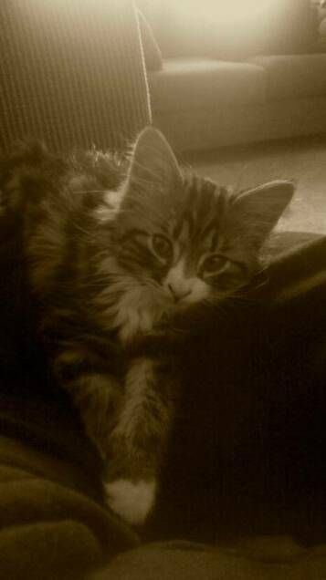 American Bobtail kitten Wyatt in his new home