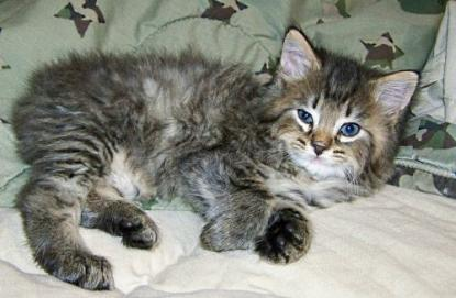 American Bobtail Kitten Male Spotted Mackerel Tabby