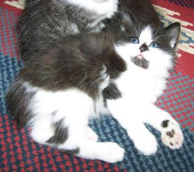 Black and White Bicolor Male American Bobtail Kitten for sale