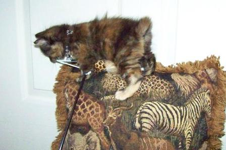 Tortoiseshell American Bobtail Kitten for sale tortie tabby torbie female