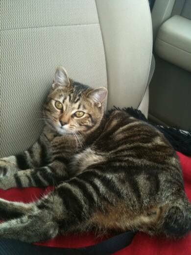American Bobtail kitten travels well in the car classic marble tabby from Cherokee Mountain Bobtails