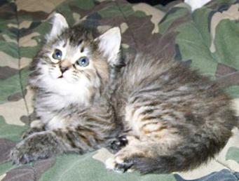 Female Kitten Patched Tortie Tabby Torbie