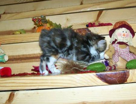 FAWN A Marble Tortie with 4 socks American Bobtail kitten at Cherokee Mountain Bobtails