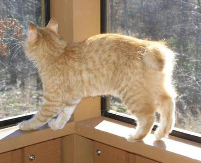 American Bobtail Kitten Red Spotted Tabby Male 4 months old