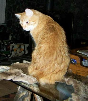 Red Tabby American Bobtail King