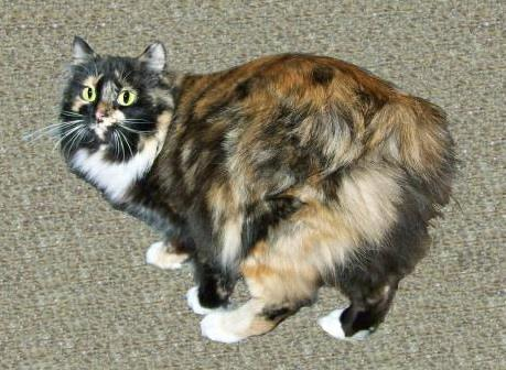 Tortoiseshell American Bobtail Queen with white socks long hair coat