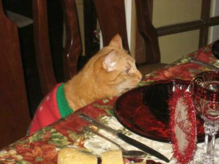 American Bobtail kittens play dress up and eat at table