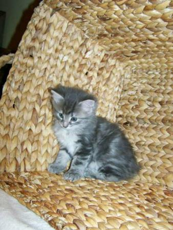 American bobtail kittens for sale colorado