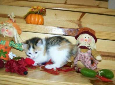 American Bobtail calico kitten