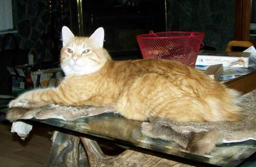 American Bobtail King Stud Cat at Cherokee Mountain Bobtails Red Spotted Tabby