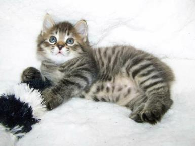 Spotted Mackerel Tabby American Bobtail Male Kitten