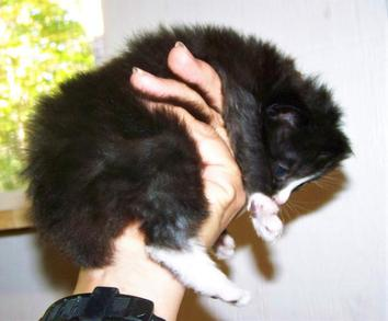 American Bobtail bicolor black and white male kitten with 4 socks and blaze face
