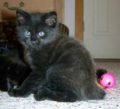American Bobtail kitten black male
