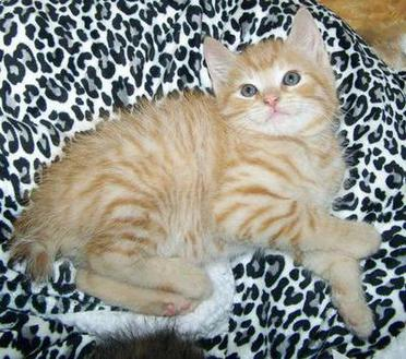 Red Spotted Mackerel Tabby Male American Bobtail kitten for sale