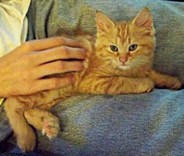 American Bobtail Kitten Red Tabby male