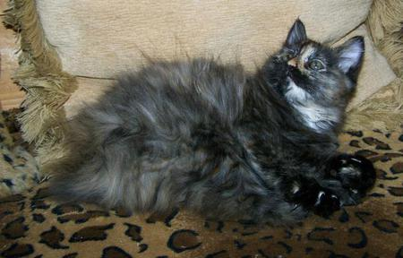 Blue Silver Tortie Tortoiseshell American Bobtail female kitten for sale