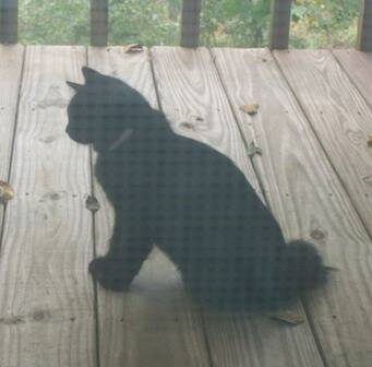 American Bobtail kitten Female at Cherokee Mountain Bobtails Queen  Black Medium Long Coat