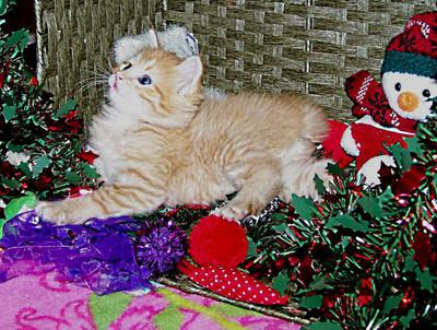 red tabby american bobtail boy christmas toys xmas background kitten for sale