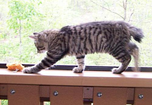 American Bobtail Female Black Silver Mackerel Tabby for sale