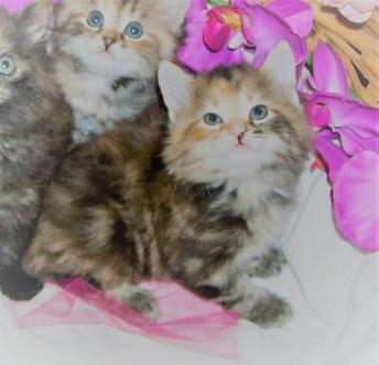 American Bobtail, kitten for sale, in Alabama, manx, cymric, japanese, mohave, pixie-bob, bobtail, classic marble, torbie,