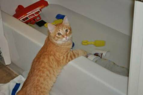 American bobtail kitten plays in the tub water