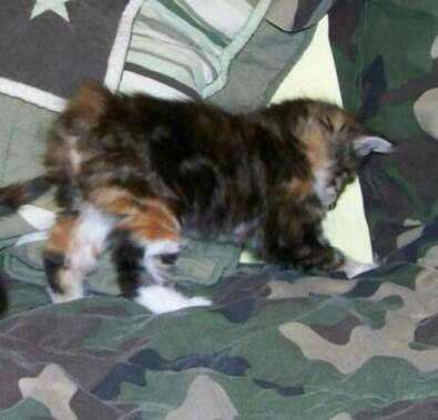 American Bobtail Kitten Tortie Tabby Female at Cherokee Mountain Bobtails