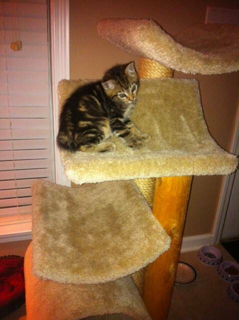 American Bobtail Kitten Atreyu in his new home from Cherokee Mountain Bobtails