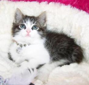 Tabby with White Stockings American Bobtail Female kitten for sale