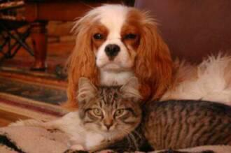 American Bobtail kitten gets along with dogs