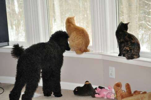 American Bobtail kittens get along with dogs