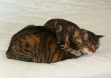 American Bobtail kittens get along with other cats