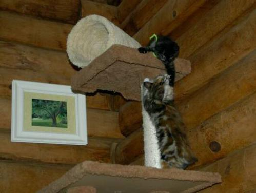 American Bobtail kittens playing on cat tree kittens from Cherokee Mountain Bobtails