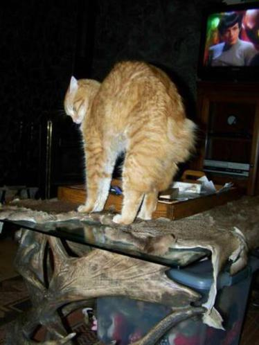 Red Tabby American Bobtail Male Stretch Arch