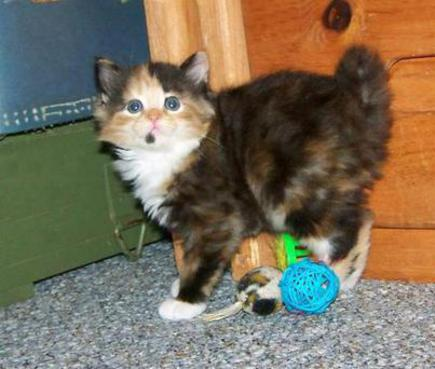 Tortie and White American Bobtail
