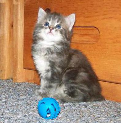 Silver Classic Marble Tabby American Bobtail