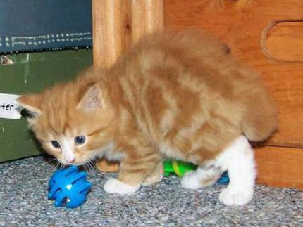 Red classic tabby and white american bobtail