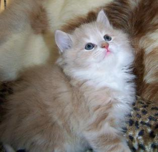 Cream Classic Marble Tabby Male American Bobtail