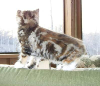 Willow A Classic Marble Tabby Tortie American Bobtail at Cherokee Mountain Bobtails