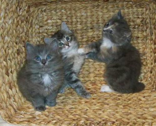 American Bobtail females classic marble tabby face Blue silver long coat