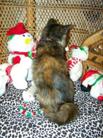 American Bobtail Kitten for sale tortie tortoiseshell medium long hair coat