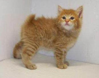 Red Tabby Bobtail Male