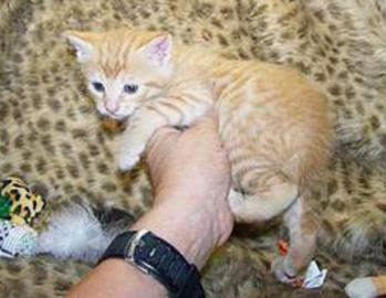 Red Tabby American Bobtail Male Kitten for sale
