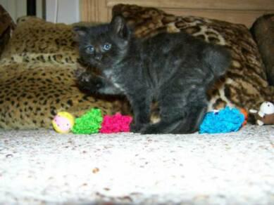 American Bobtail Kitten paw black female