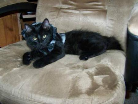 American Bobtail Kitten for sale Black Medium Long Coat Male