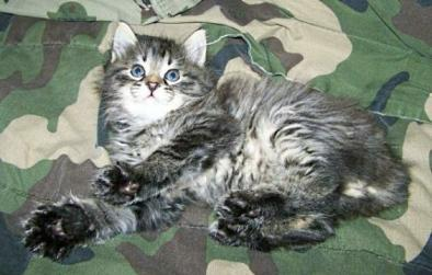 American Bobtail Kitten Male Mackerel Tabby