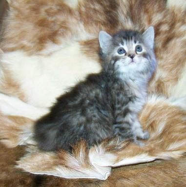 American Bobtail kitten for sale female torbie tortie tabby baby