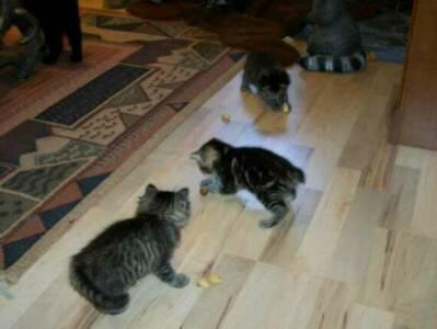 American Bobtail Kittens Natural not docked