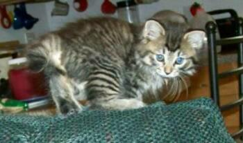 "American Bobtail kitten long haired ""Jazzmyn"" Future Queen at Cherokee Mountain Bobtails"