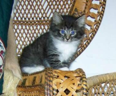 American Bobtail Kitten Male at Cherokee Mountain Bobtails