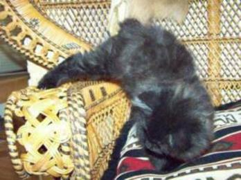 American Bobtail Kitten black female at Cherokee Mountain Bobtails